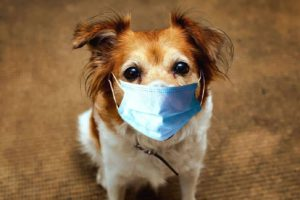 Small brown and white dog wears a mask. Dogs and coronavirus: Canines unlikely to catch or transmit the virus to people or other animals, World Small Animal Veterinary Association says.