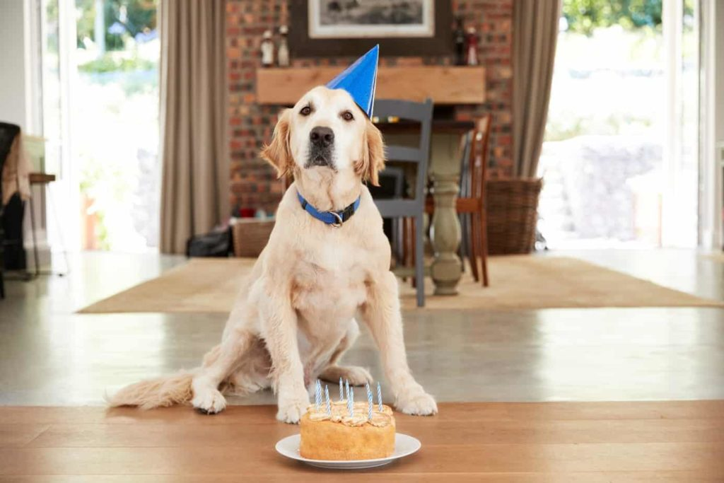 Golden retriever celebrates with cake at a dog birthday party.