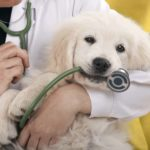 Veterinarian holds Golden Retriever puppy chewing on stethoscope. Pet health insurance helps keep dogs healthy by removing barriers, encouraging preventive care, and diagnosing lifelong conditions early.
