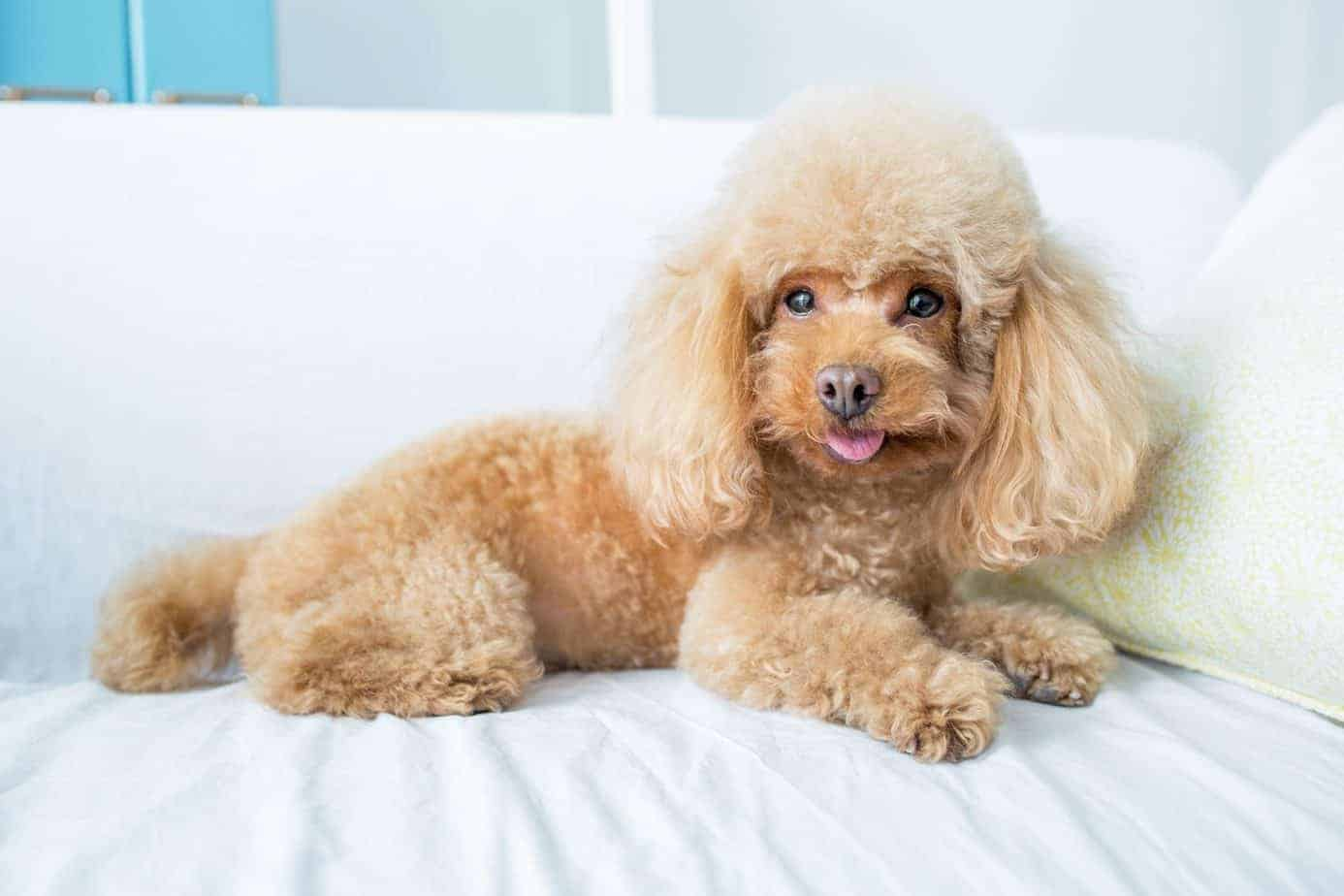 Poodle rests on a bed. The poodle is easy to train, loads of fun, and quite energetic.They like to be with people most of the time and definitely hate being in a kennel.