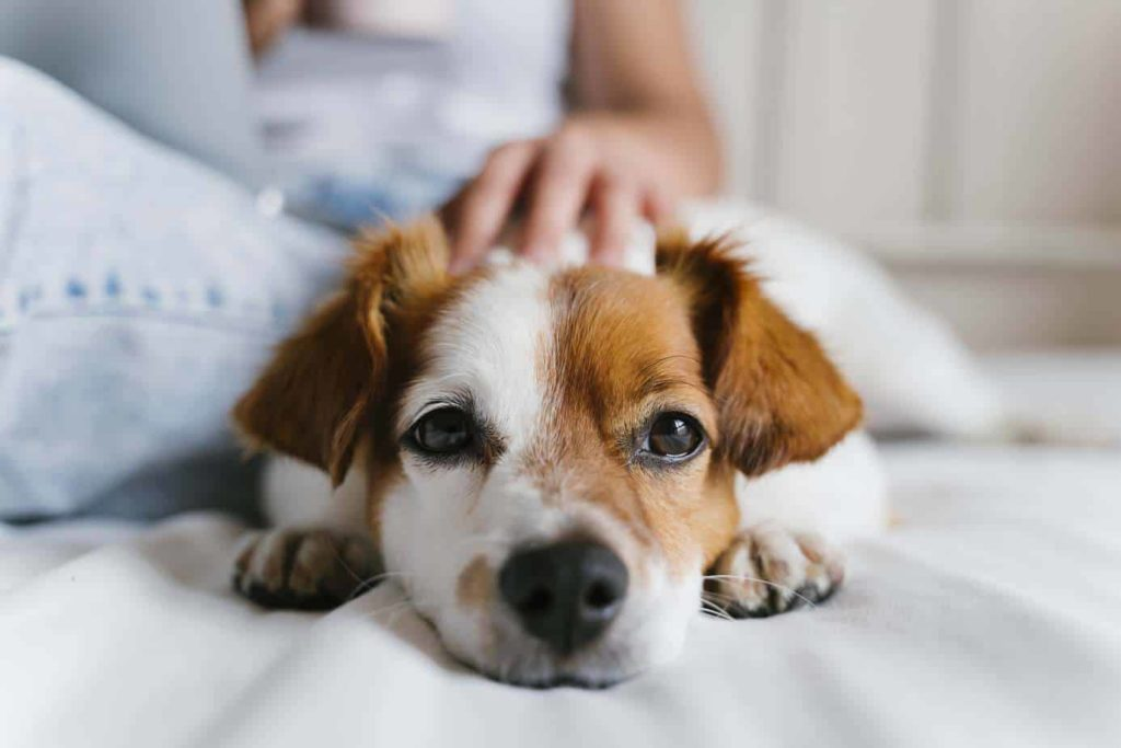 Woman pets Jack Russell Terrier. Adopting a dog is a big commitment. Be sure you're prepared for responsible pet parenting and have the time, money, and energy to bring home a dog.