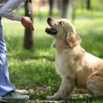 Woman trains Labrador Retriever. Training your dog is an excellent opportunity for puppy and owner to bond and establish a power dynamic so your pup learns to respond to commands.