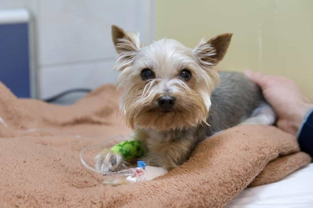 Yorkshire terrier treated with intravenous fluids. Eating products with xylitol toxic for dogs. Consuming it can cause seizures, liver failure, low blood sugar, and in some chronic cases, death.