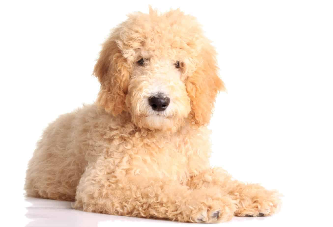 Goldendoodles are ideal dogs for first-time owners. They are smart, friendly and easy to train.