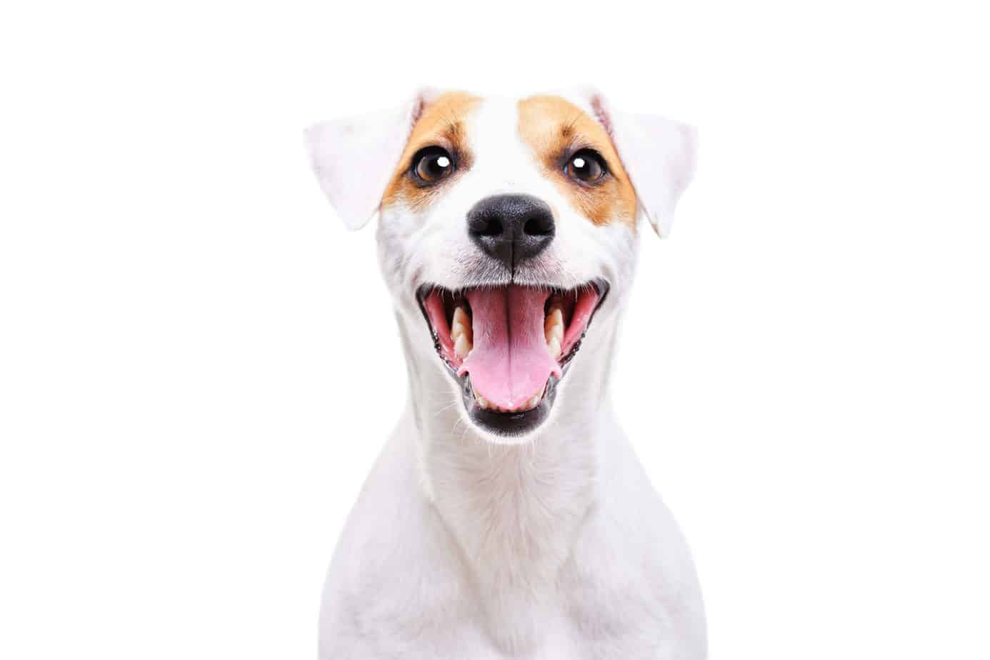 Smiling Jack Russell Terrier. Signs your dog is healthy include high energy level, a healthy appetite, a shiny, full coat, fresh breath, and clean teeth, and bright eyes.