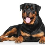 The Rottweiler is as obedient and good-natured as it is strong and powerful. They absolutely love to be with their human parents.