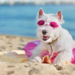 Westie wears sunglasses on the beach. Your dog needs sunscreen if he has light-colored hair or nose, if he spends a lot of time outdoors, or if he has any bald spots.