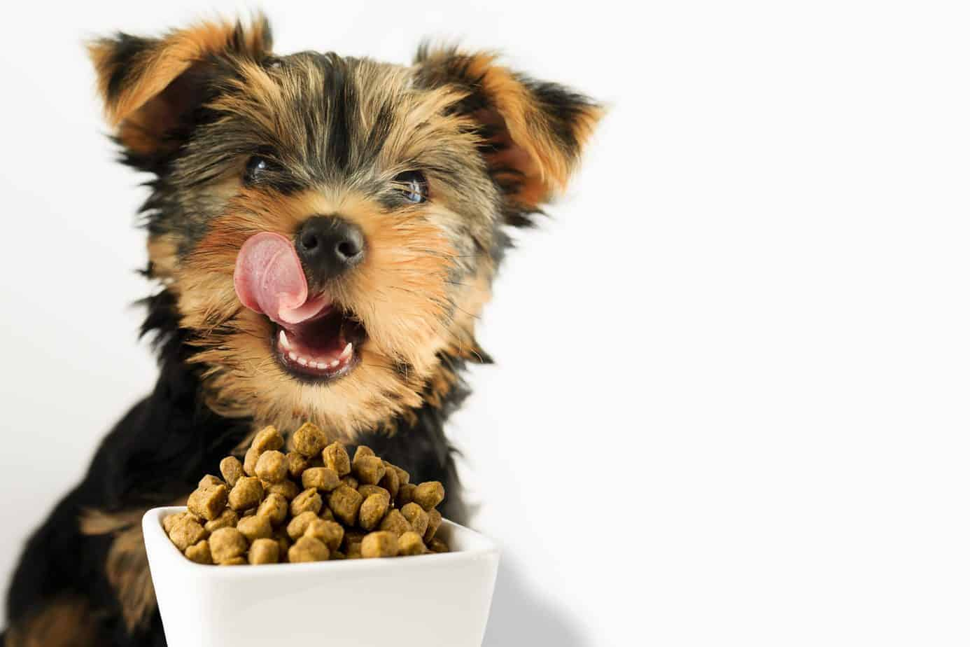 Happy Yorkie puppy licks its lips before eating quality dog food.