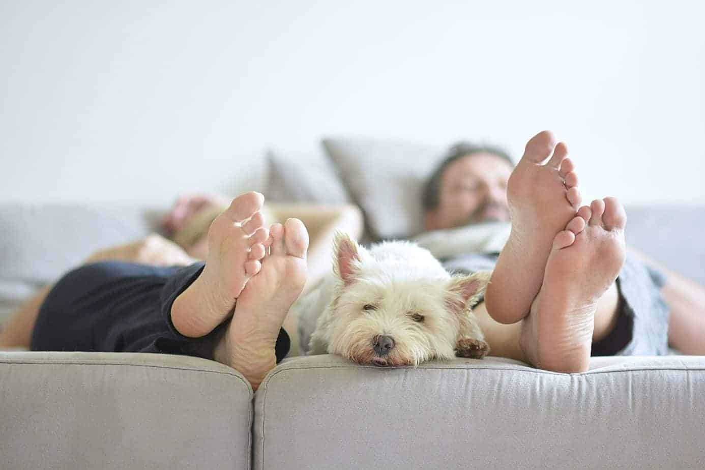Sleepy Westie snuggles between owners. Pet foster parents help change an animal's future. Some homeless pets have endured abuse, neglect, or cruelty. Fostering helps them heal.
