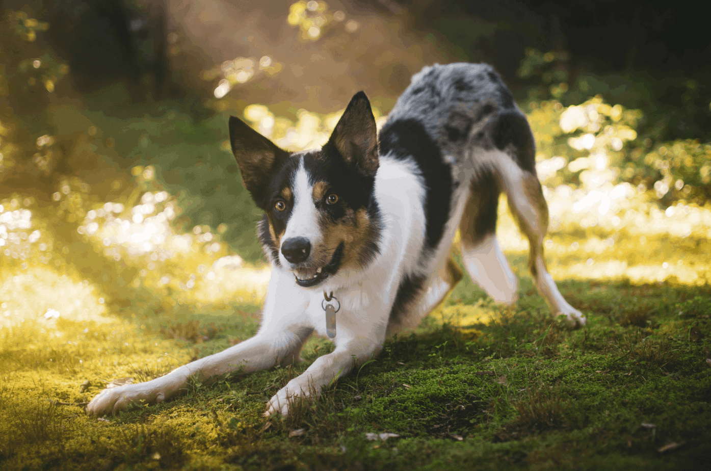 Australian Shepherd plays in grass. A dog's symptoms from grass allergies can be anywhere from hardly noticeable to obvious discomfort.