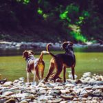 Two dogs stand on stream bank. Keep animals safe: Feed your dog a healthy diet, provide exercise, take your dog for regular vet visits, create a safe space and stay alert.