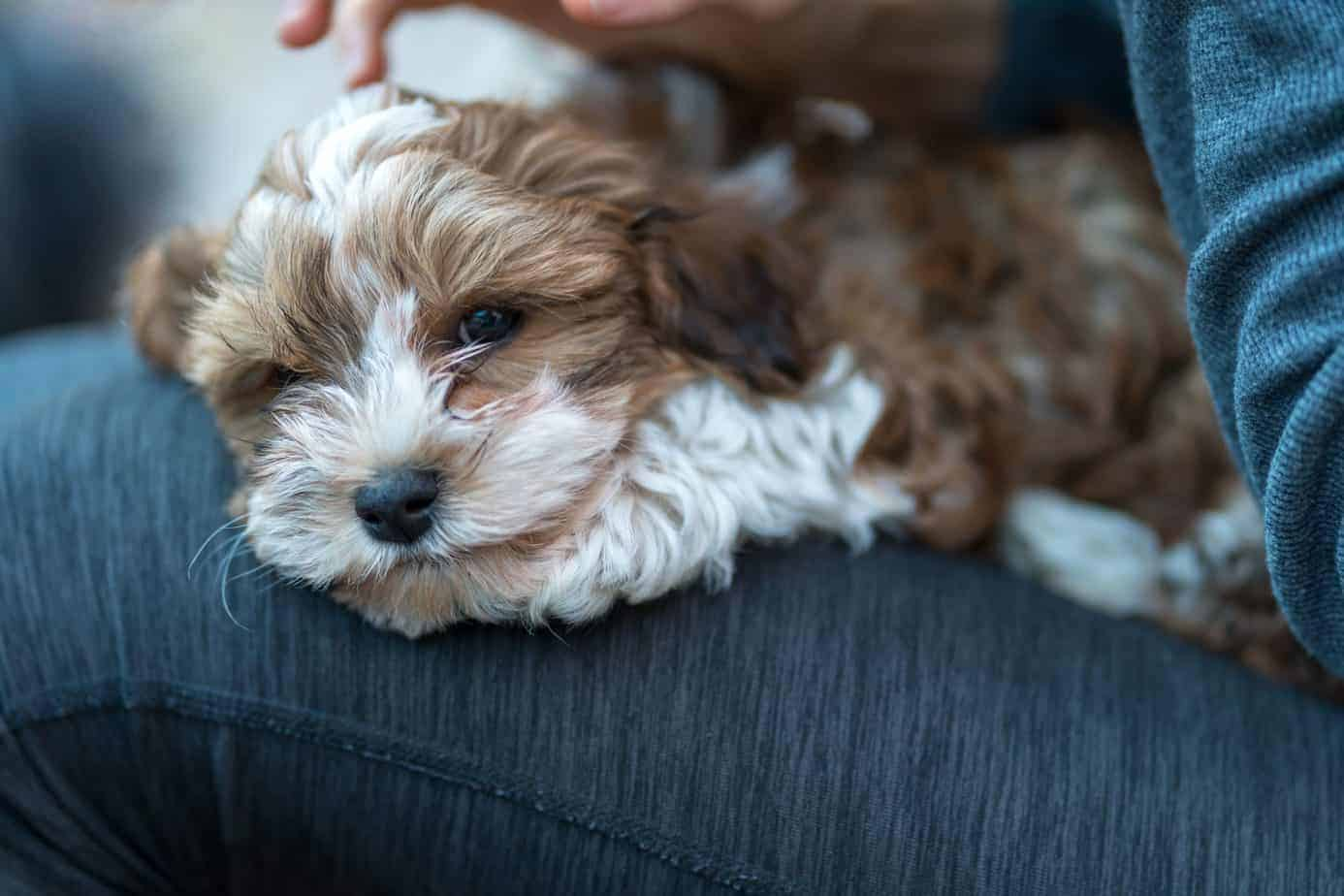 Havanese puppy snuggles on her owner's lap. All dogs want to be lap dog breeds. Most dogs like to cuddle and use climbing into their owners' laps as a chance to communicate.