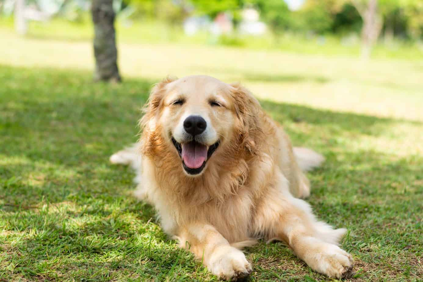 Happy golden retriever lounges on the grass. Potty train an older dog: Establish a routine, use lots of praise, take him outside often, and learn to watch his cues. And never scold.