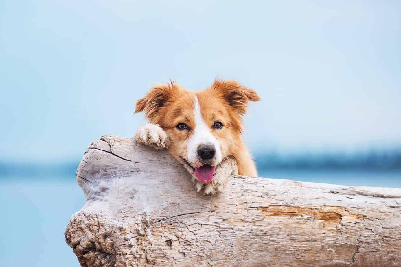 Happy Australian Shepherd on the beach. CBD for pets: Premium Jane or other well-trusted brands are great places to get started, as they guarantee both efficacy and CBD content.