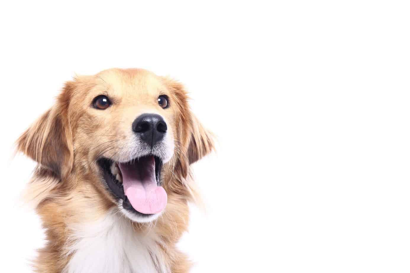 Happy golden retriever. CBD can help dogs overcome issues like separation anxiety or at the very least, feel more relaxed and able to deal with it.