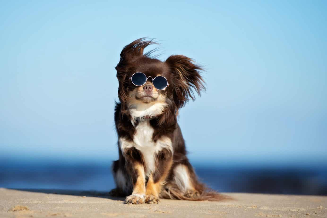 Happy chihuahua wearing sunglasses sits on the beach.
