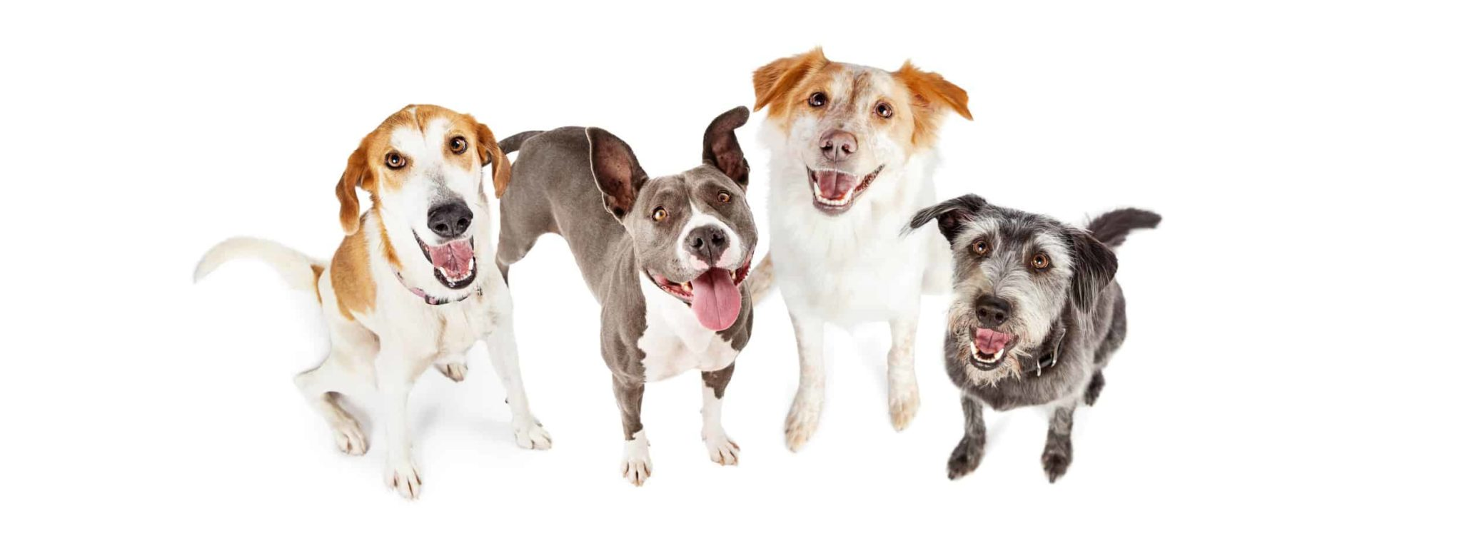 Four happy dogs. CBD oil for dogs in the UK helps treat epilepsy, arthritis, and anxiety.
