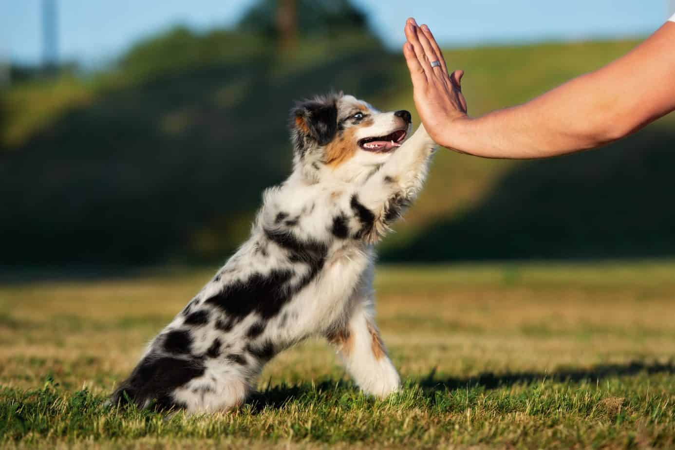 Australian shepherd puppy gives his owner a high five. CBD is considered to be extremely safe for humans, and there is no reason why it should not also be for dogs.