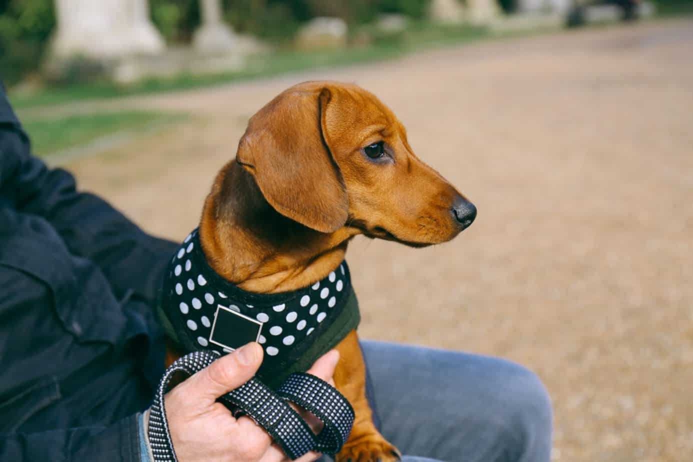 Dachshund wears a harness.