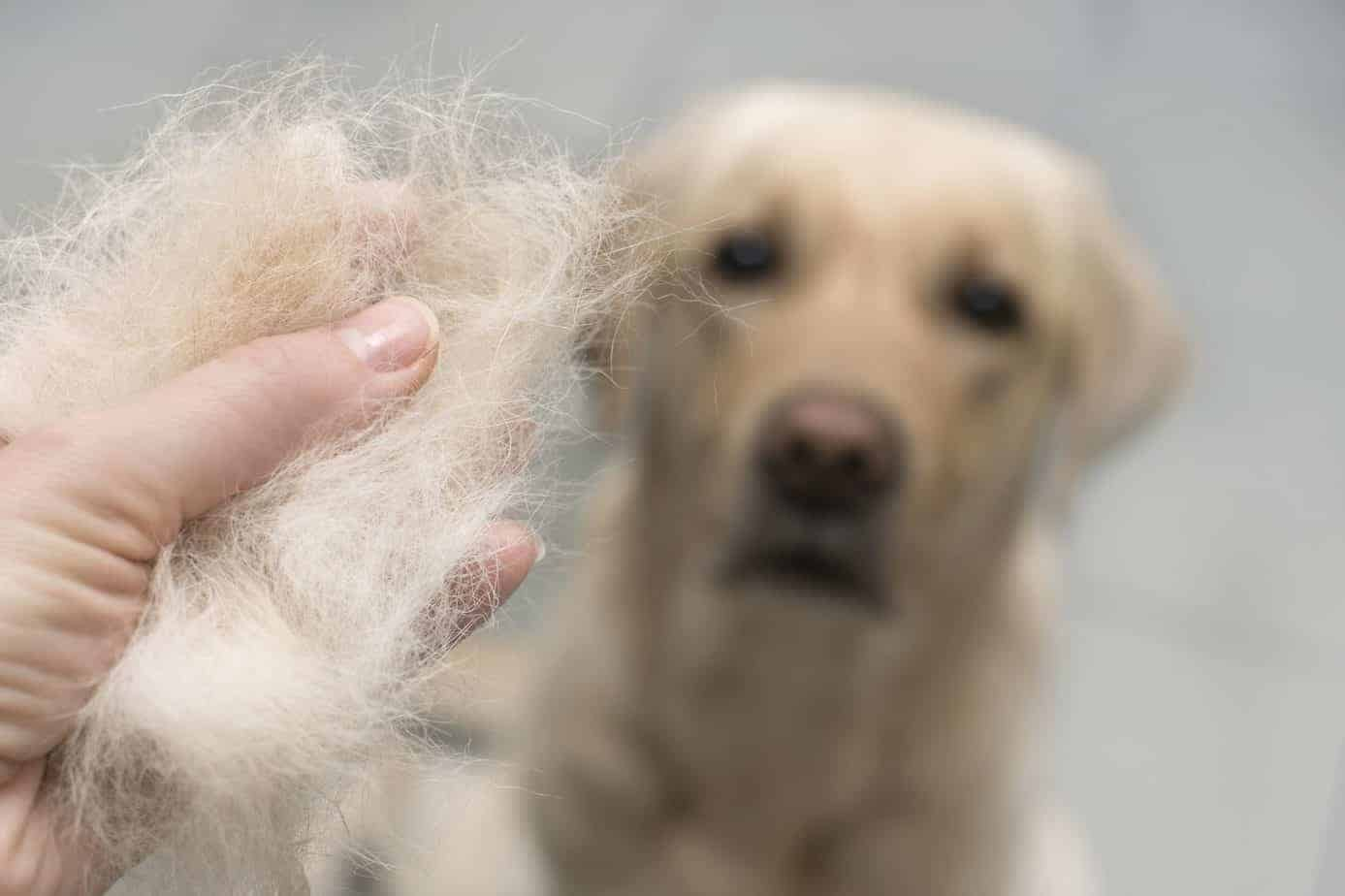 Owner holds hair from a Labrador retriever. Shedding is normal, but severe hair loss or bald spots show your pet has a serious health issue. Stress, hormones, and flea allergies all cause hair loss.