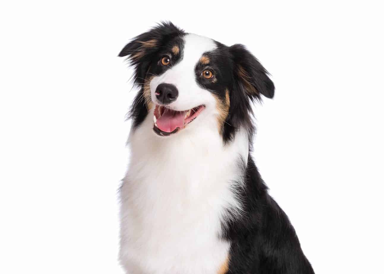 Happy border collie. CBD and pets: Investing in a pet's health can promote wellness. PureKana's high-grade CBD helps build a happier, adjusted pet.