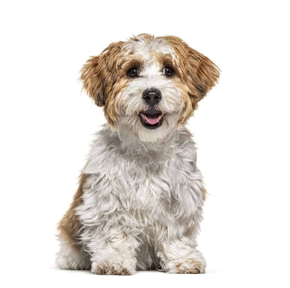 Happy Havanese puppy. Pet owners planning to use CBD should seek companies that use hemp sources rich in CBD. PureKana utilizes hemp grown to the highest levels of quality in the USA.