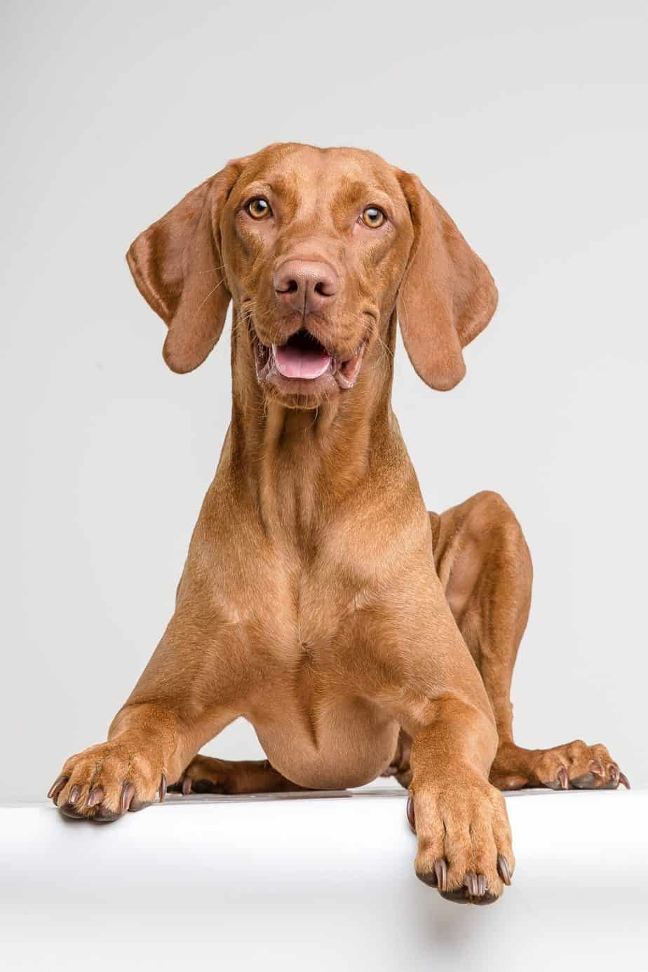 Vizsla puppy on white background. Start training your Vizsla as a puppy. These active, intelligent dogs are curious and can be manipulative.