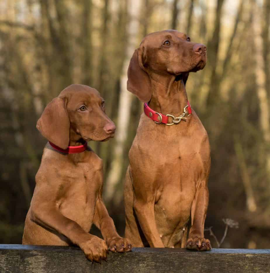 "Pair of Vizsla dogs. The Vizsla is a high energy dog. You have to give this breed a ""job"" to do every day. That should include training and at least a half-hour per day of activity such as fetch or jogging."