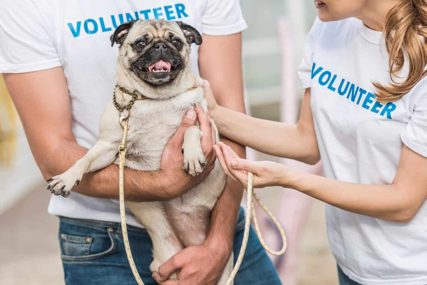 Man and woman play with pug when they volunteer at an animal shelter.