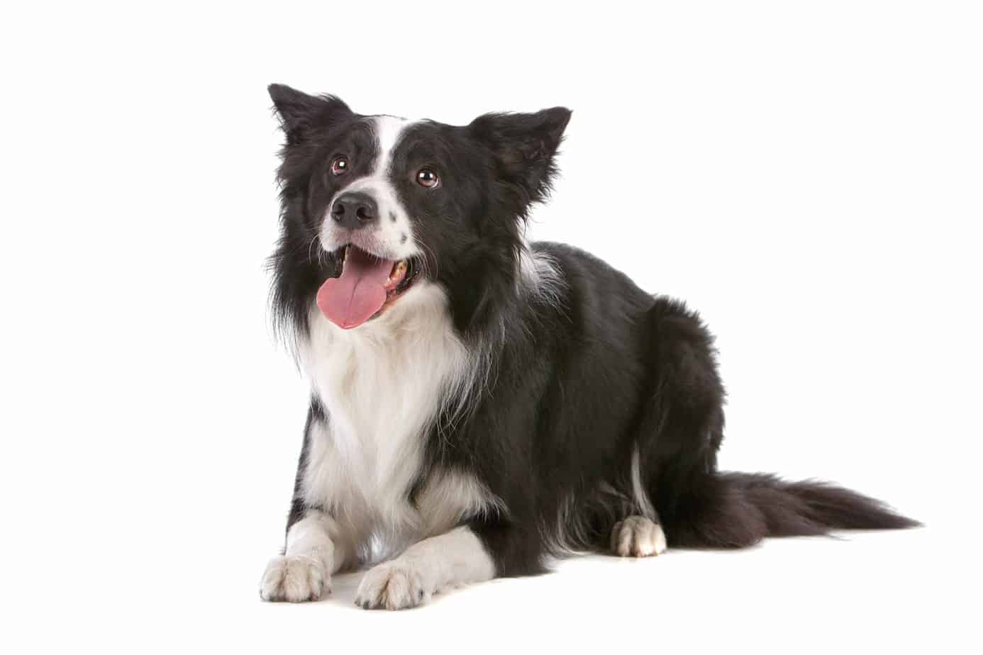 Happy border collie on white background. A study done in Australia proved that CBD products could control atopic dermatitis symptoms in dogs.