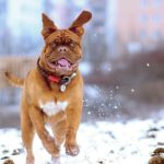Happy bull mastiff runs in the snow. While your dog can't catch any ​respiratory illnesses​ from you, they do develop colds and flu in very much the same ways as humans do.
