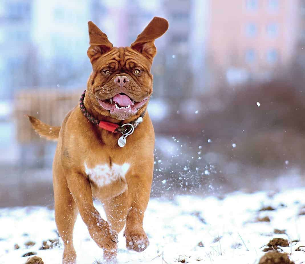 Happy bull mastiff runs in the snow. While your dog can't catch any respiratory illnesses from you, they do develop colds and flu in very much the same ways as humans do.