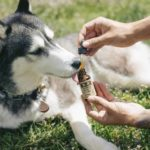 Owner gives Husky serving of CBD oil. Double-check the manufacturing and expiration dates so that you know that you are only giving the best product to your dog.