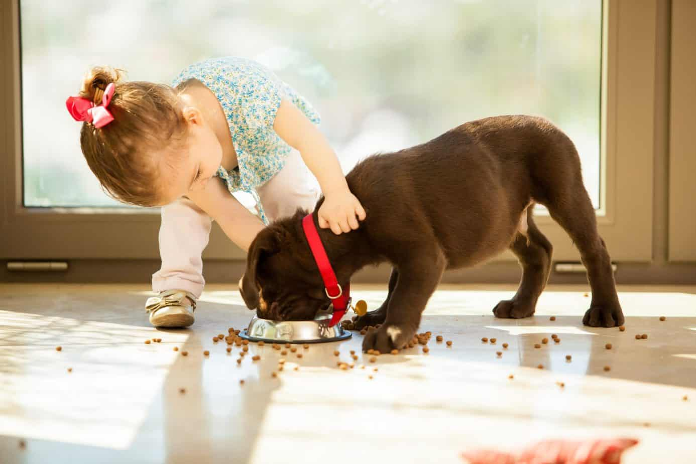 Little girl helps feed labrador puppy. Taking care of an animal is no easy task, especially for a young kid. That's why parents should teach kids to do the work and show them that owning a dog is a daily commitment.