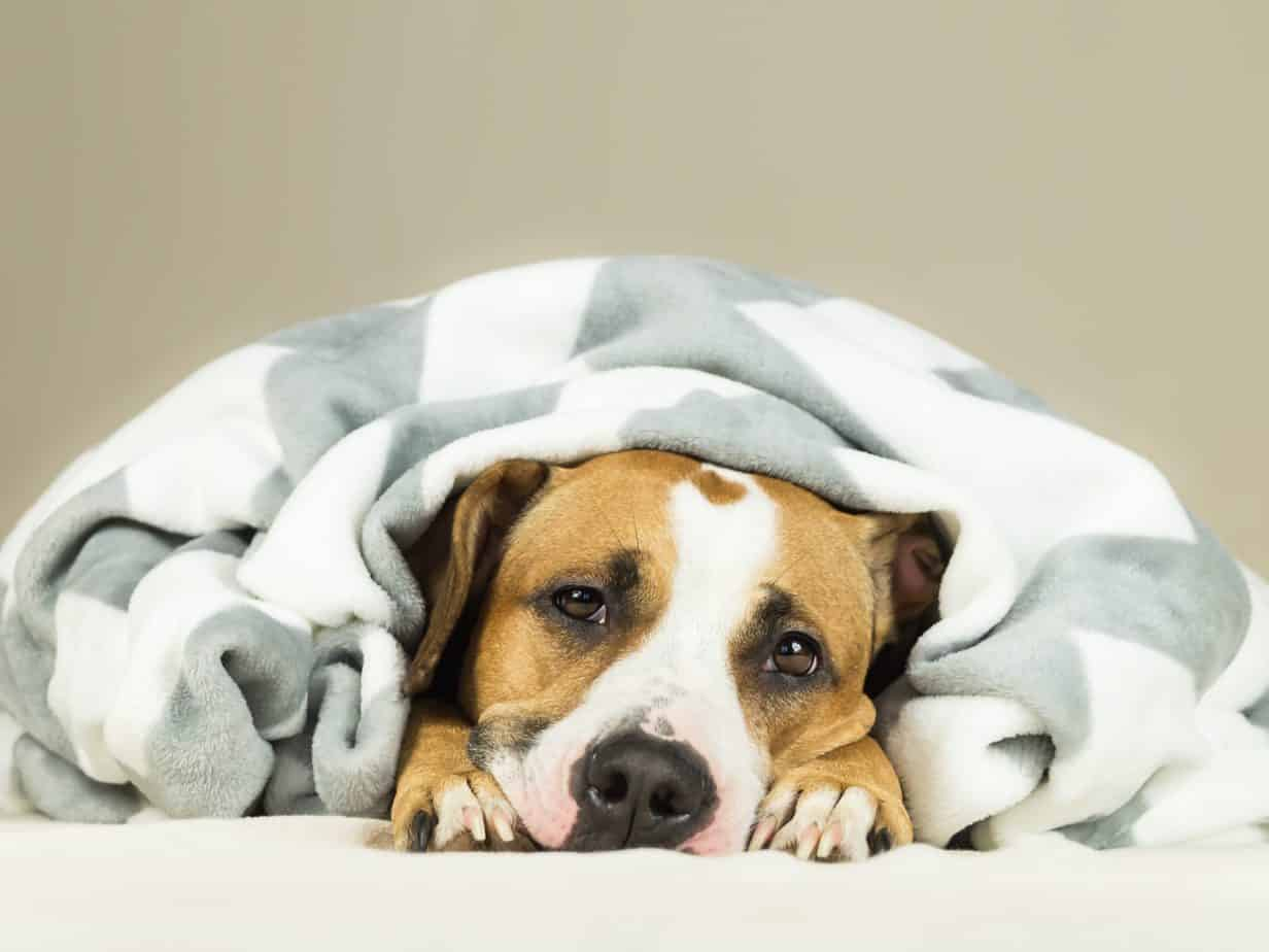 Staffordshire terrier puppy wrapped in a blanket. Early warning signs of illness include behavior change, lack of appetite, unexplained weight loss, excessive thirst, and sleeping more.