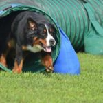 Bernese Mountain dog runs through a backyard obstacle course. Large dogs need exercise. Consider creating a backyard obstacle course.
