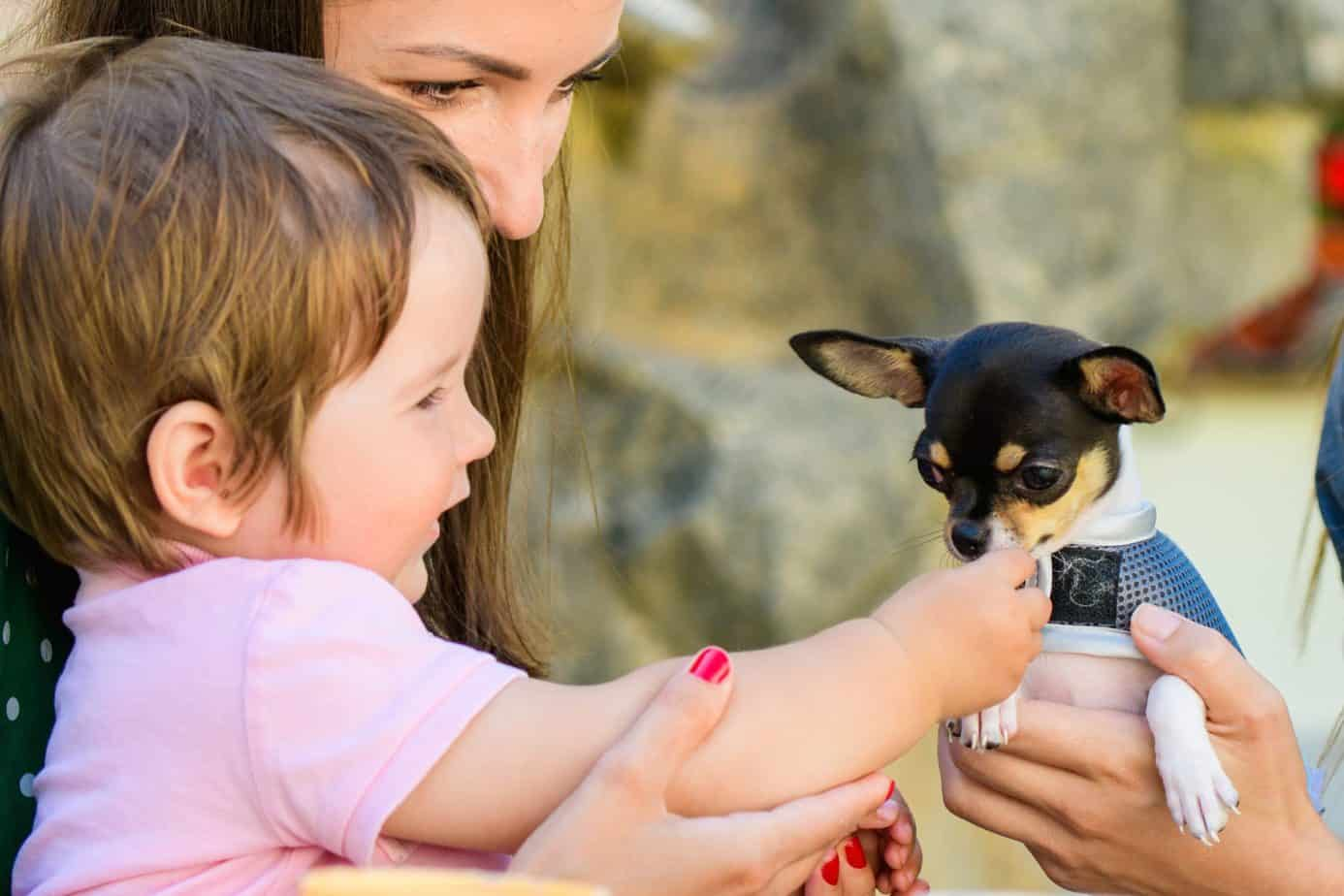 Woman introduces toddler to chihuahua. Teach children to minimize dog bite risks and remember the rules as an adult.