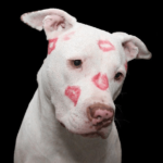 White pit bull covered with lipstick kisses. Getting pet insurance for rescue dog provides you with peace of mind and helps cover unexpected medical and dental costs.