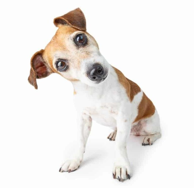 Confused Jack Russell terrier puppy tilts his head. Prepare for puppy: Get your house ready, hold a family meeting, buy supplies, get a license, and hire a dog trainer.