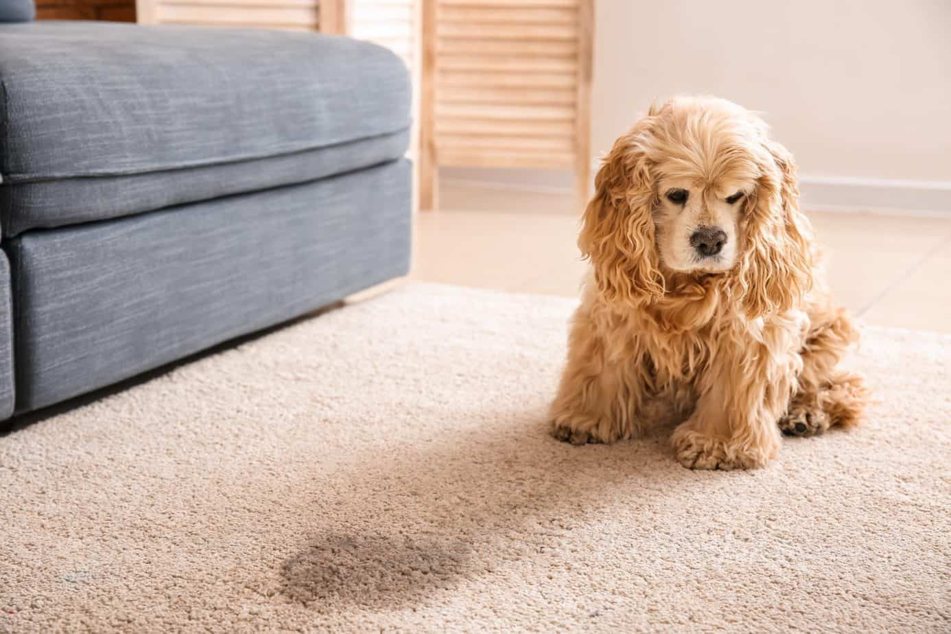 Sad cocker spaniel sits near urine stain. The best way to remove pet stains is by cleaning as soon as possible. Cleaning urine immediately also helps avoid possible discoloration.