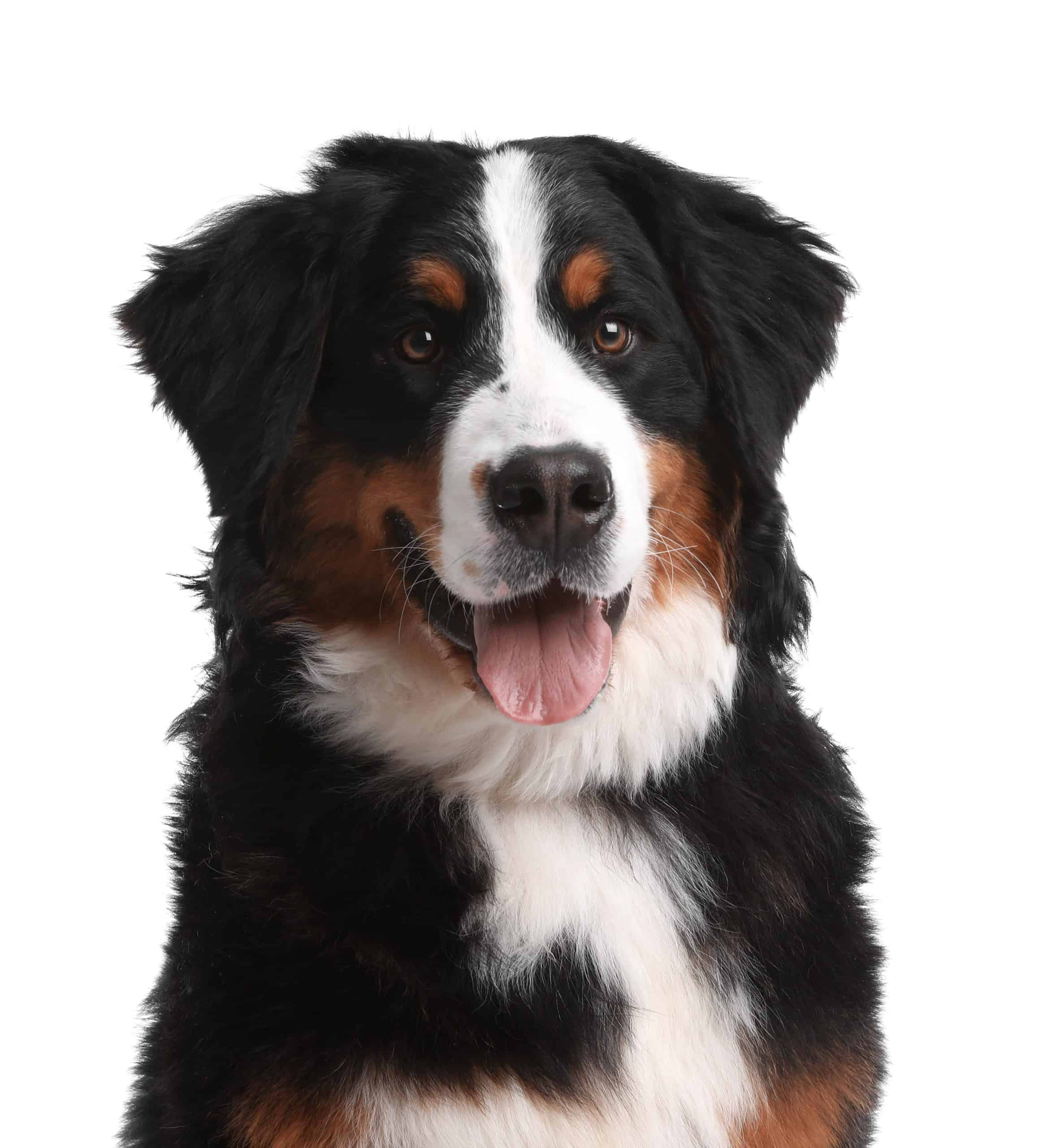 Happy Bernese Mountain Dog with tongue out. 4 Corners Cannabis is one of many CBD oil companies making products for pets as well as human beings so dogs can experience CBD benefits.