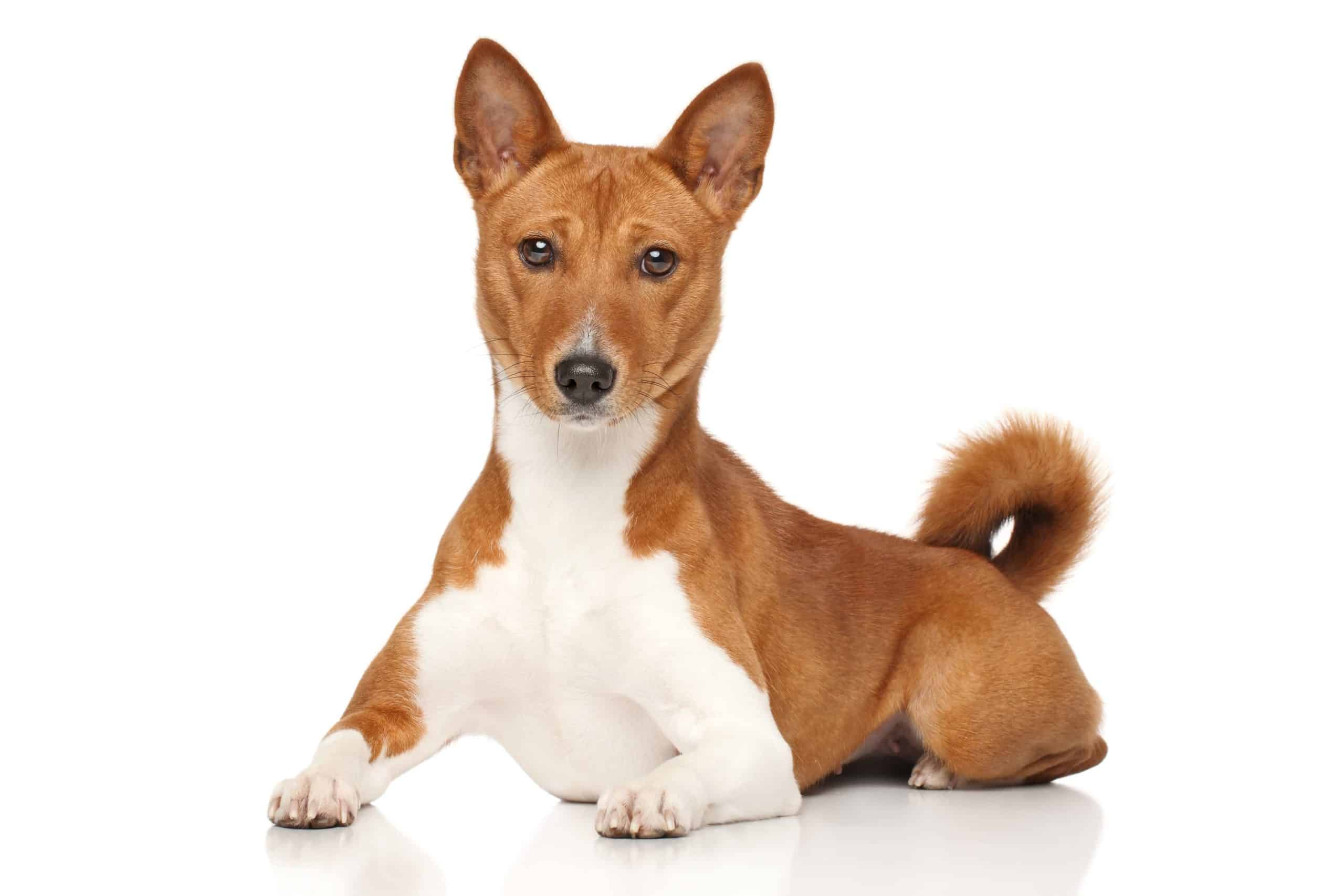 The Basenji is considered a non-shedding dog.