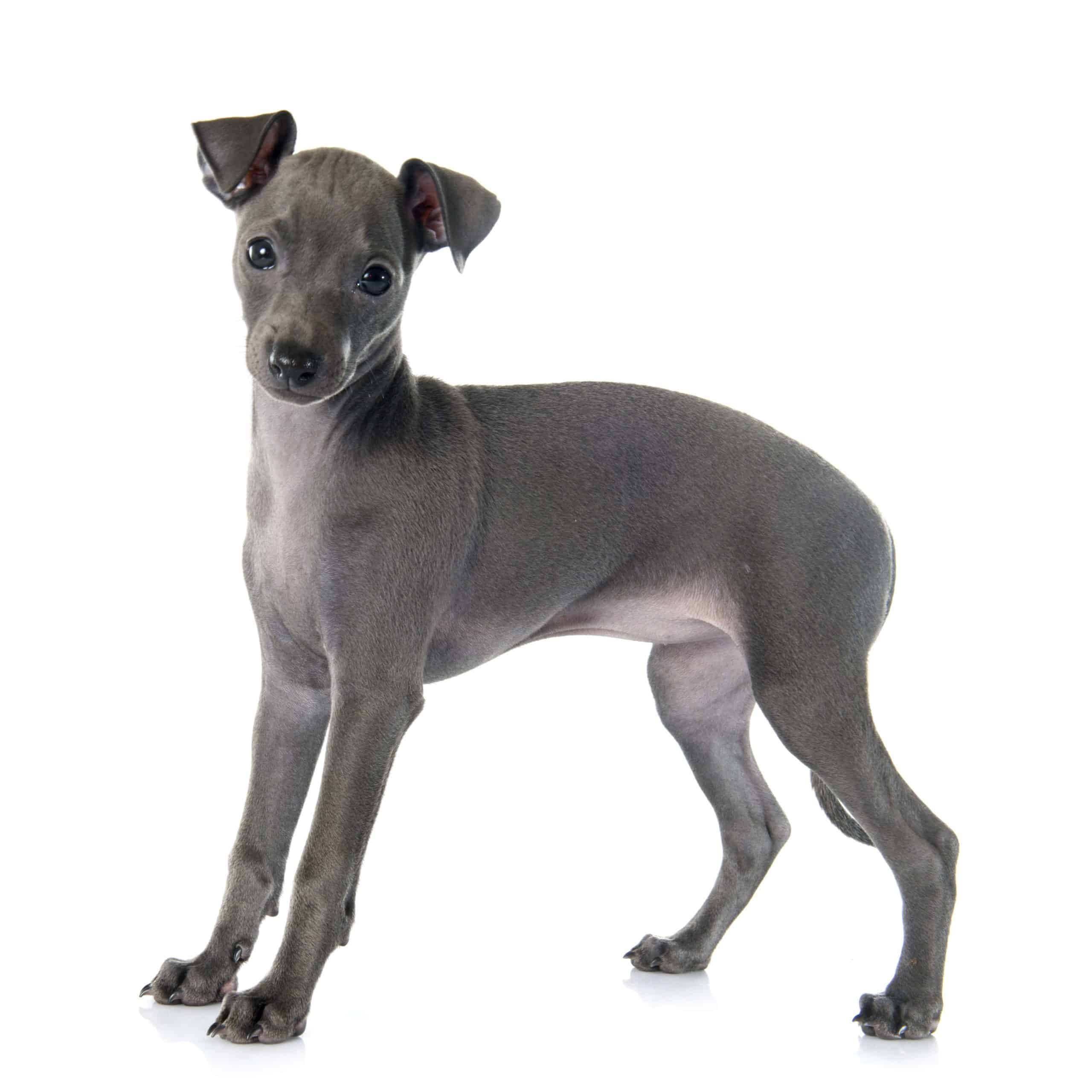 Grey Italian greyhound puppy. An Italian greyhound is a relatively low maintenance dog with short hair and small stature; however, your Iggy will need frequent exercise, a safe place to sleep, and routine checkups for the best health.
