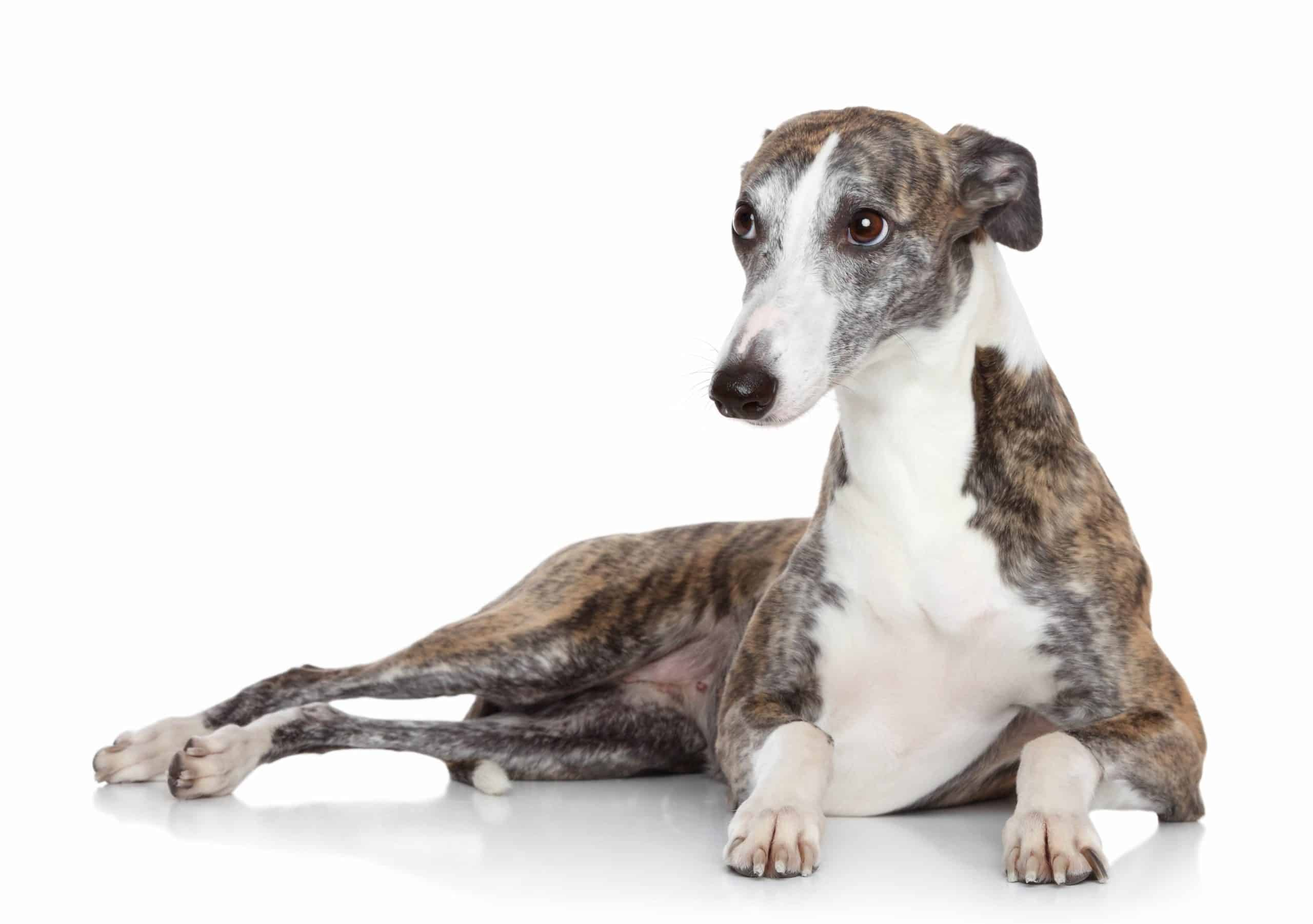 Italian greyhound lounges on white background. Play and physical exercise help keep Italian greyhounds fit and engaged.