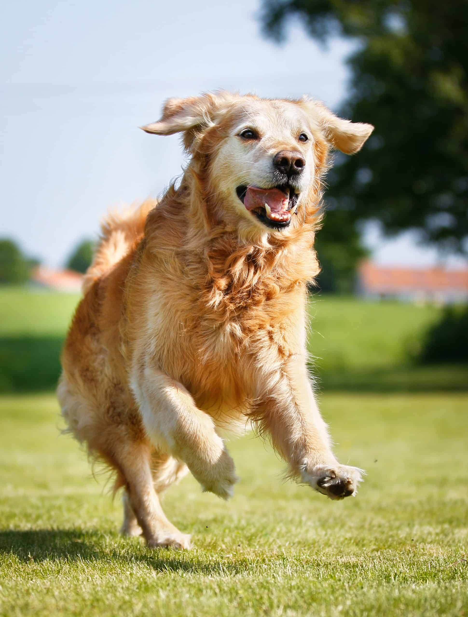 Older golden retriever runs outside. Keeping older dogs active helps ensure that they don't deteriorate.