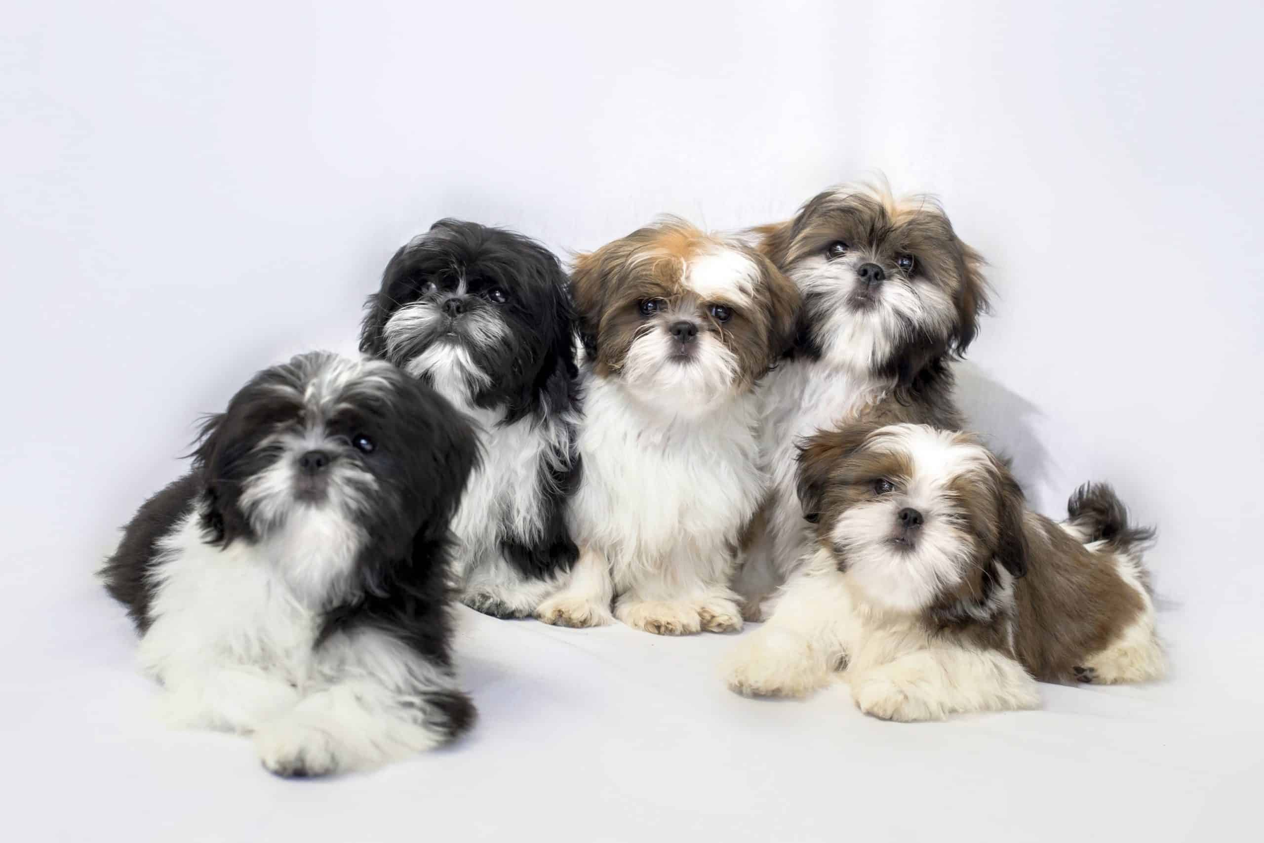 Group of five shih tzu puppies. Shih tzus are considered hypoallergenic.