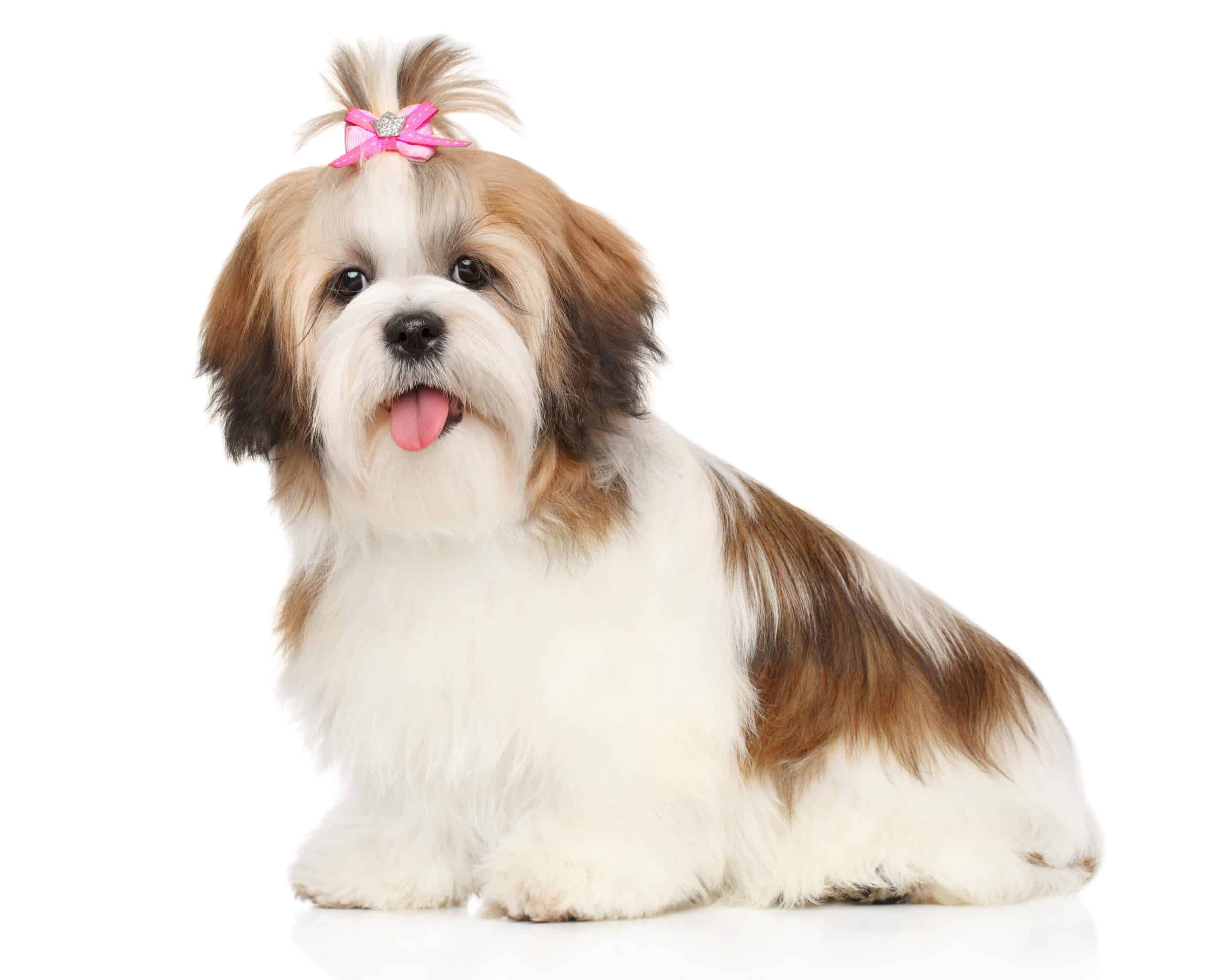 The shih tzu is considered a non-shedding dog breed.