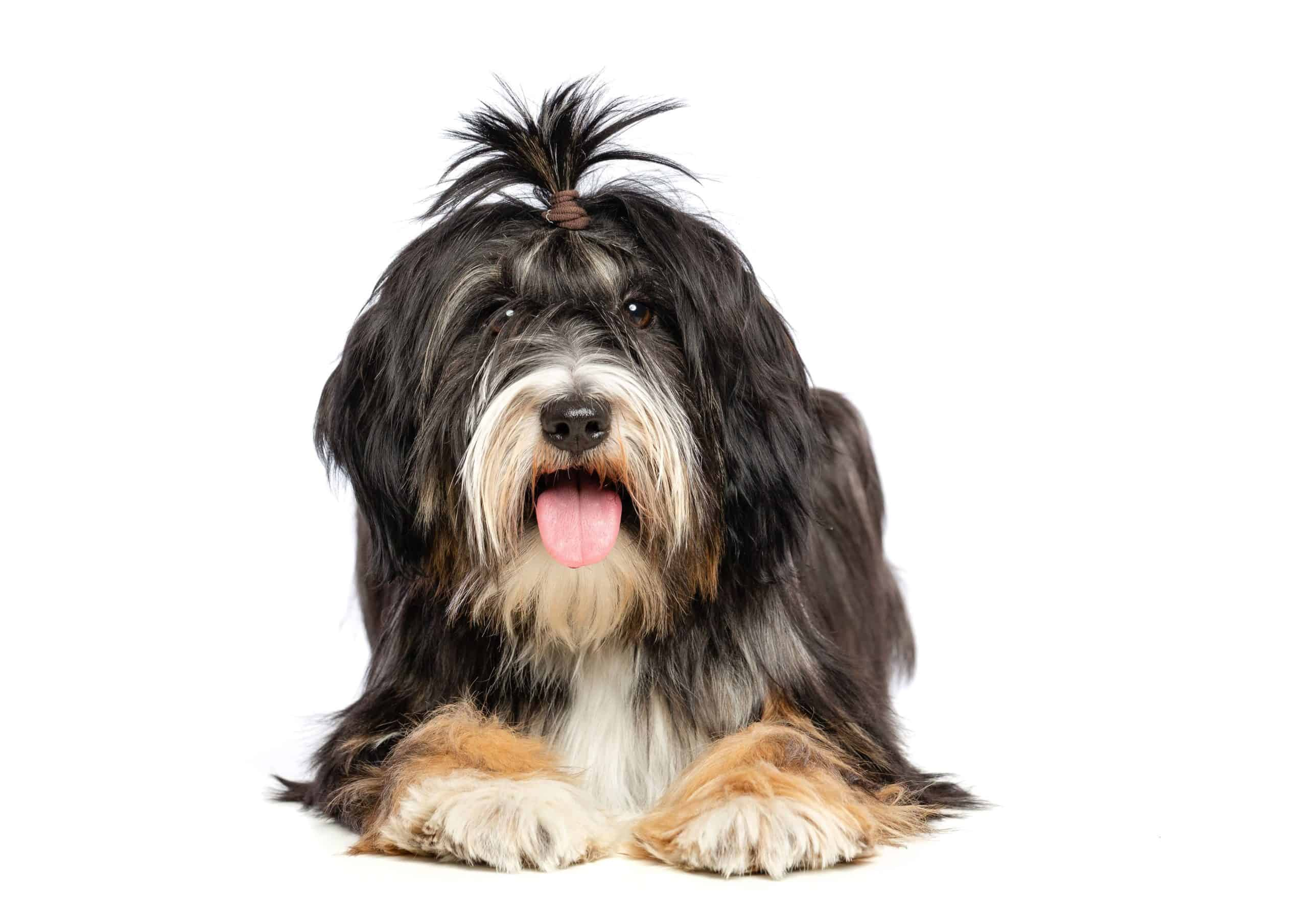 The Tibetan terrier is considered a non-shedding dog breed.