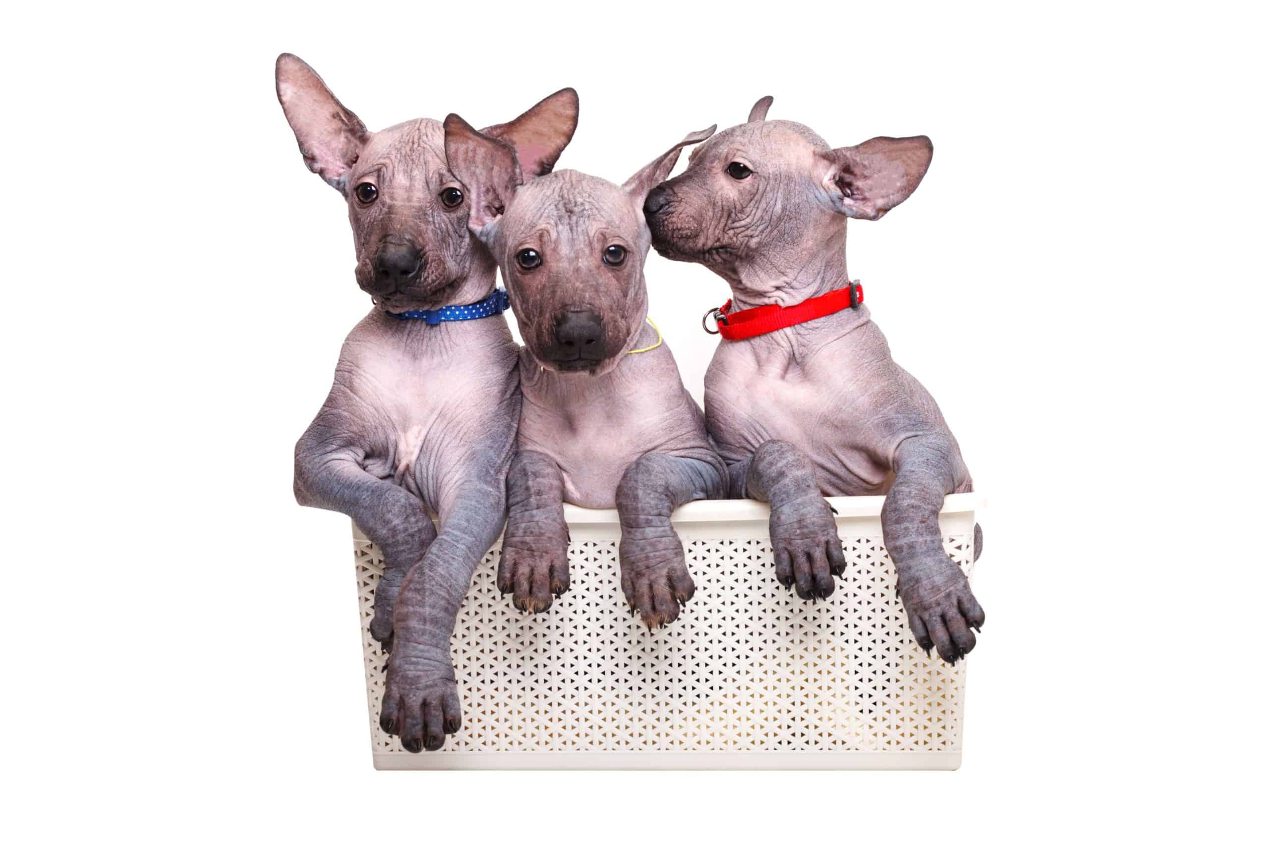 Xoloitzcuintli are considered hairless dogs and are hypoallergenic.