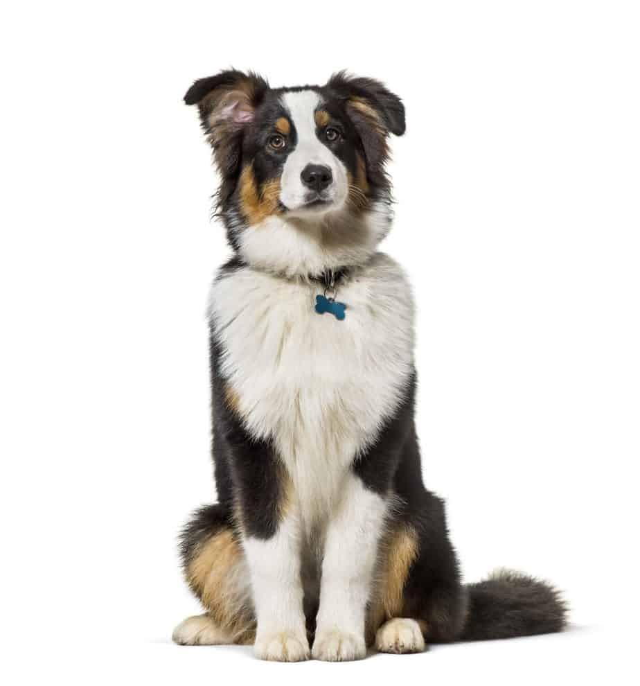 Australian shepherd wears a dog collar with identification information.